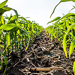 Image of a corn field