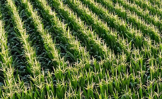 Rows of corn in field