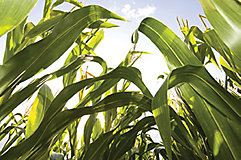 Corn from the ground up