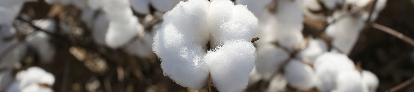 image of cotton boll