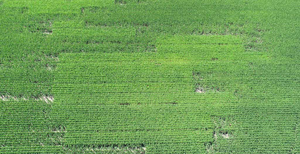Crop Tour - Field in Cedar County, Iowa.