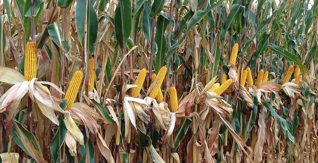 Crop Tour 2019 - Iowa Corn Drydown