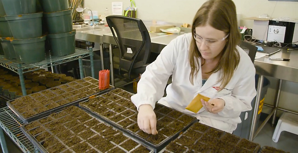 From Canola Breeding to Seeding - Part 1 - Quality Control