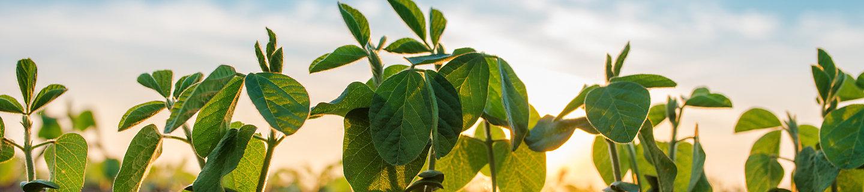 soyabean plants