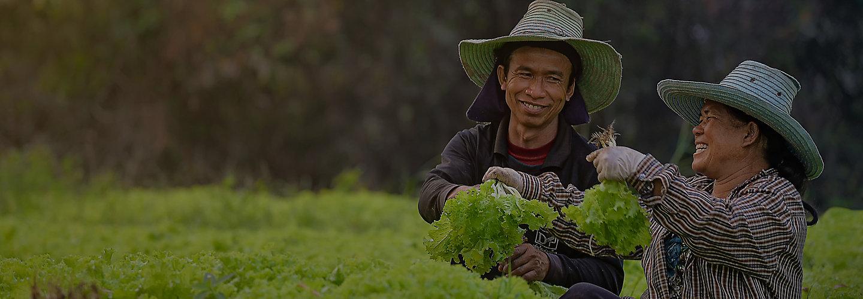 marul tarlasında çalışanlar