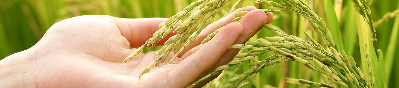 rice field paddy