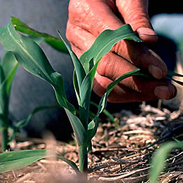 A mão do homem ao lado da planta de milho
