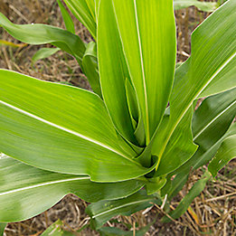 Planta de maíz
