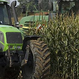 Maize harvest