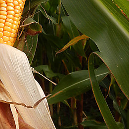 Maize cob and leaves