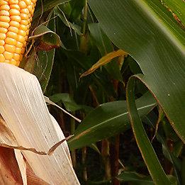 Maize Hybrids