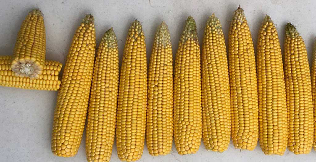 Corn ears harvested in May