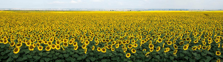 Pioneer Sunflowers