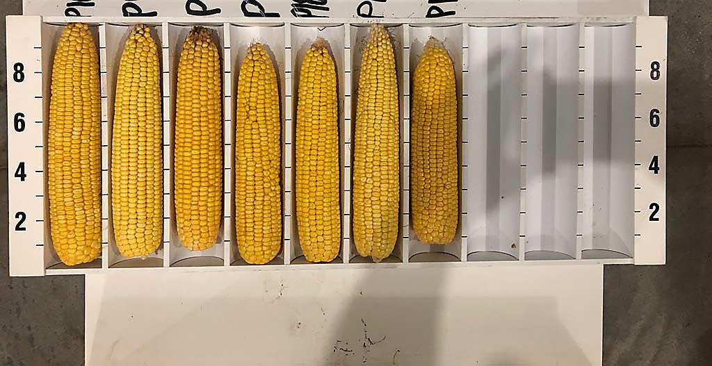 Corn ears showing good pollination.