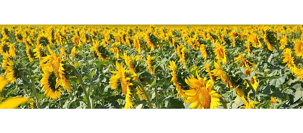IMG-Protector-SunflowersFields