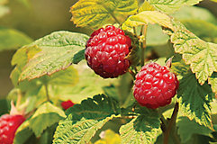 Raspberries on bush