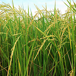 Image of a rice field.