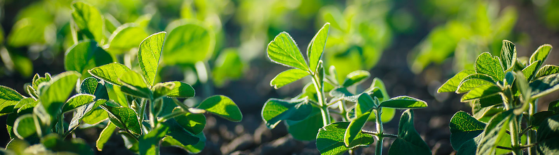 soya plants