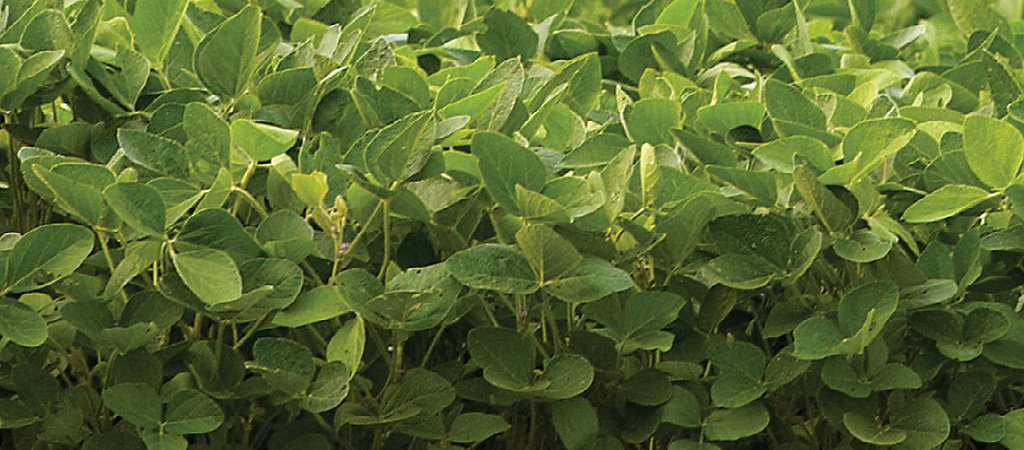 Soybean close-up