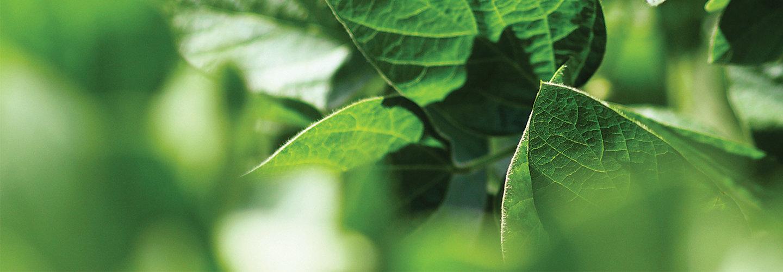 Imagen desktop de soja en foco
