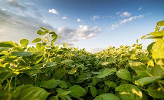 Soybean crop