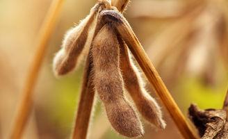 Ripe soybean pod
