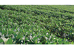 Weed-free soybean field