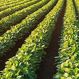 Image of soybean field
