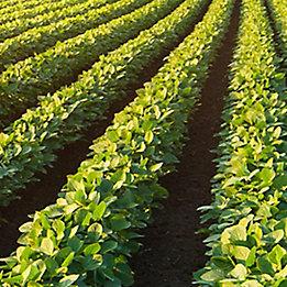 Image of soybean field