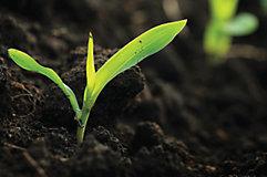 Corn seedling close-up