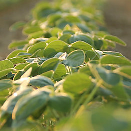 Soybeans_3