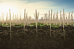 Canola stubble with roots and weeds