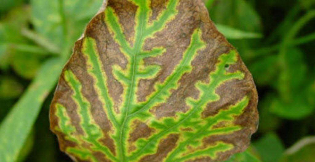 Sudden Death Syndrome - Soybeans