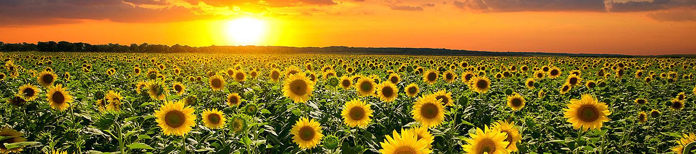 向日葵风景图