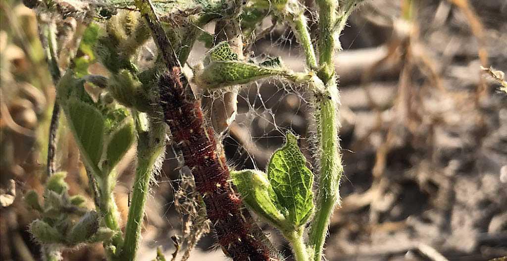 Thistle caterpillar on soybean plant.