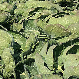 cabbages growing