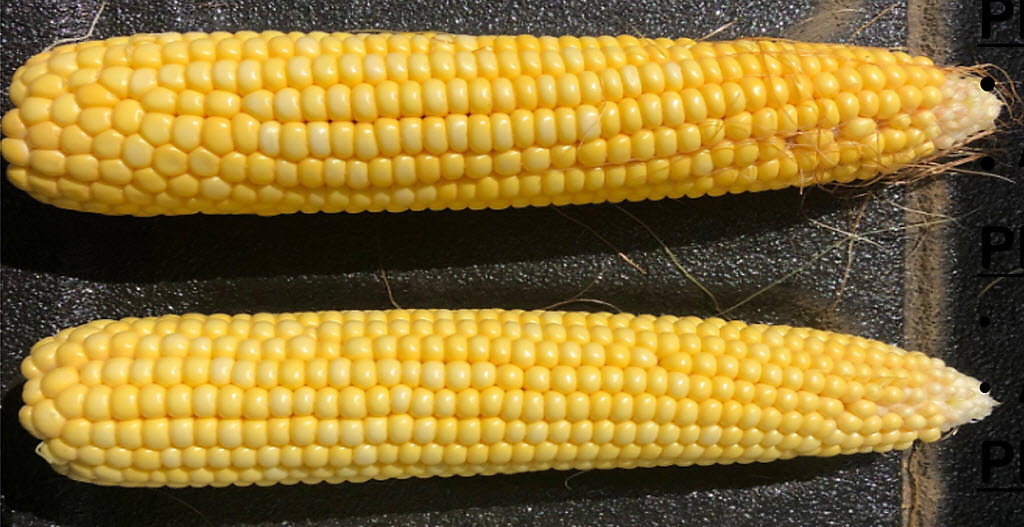 Crop Tour 2019 - Corn Ears Planted April-May