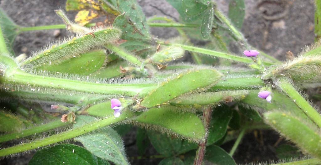 Crop Tour 2019 - Soybean Aphids - Western Iowa