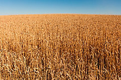 Image of a wheat field.