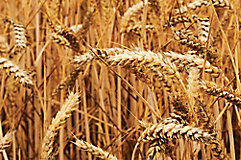 Image of wheat in a field.