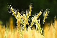 Image of wheat