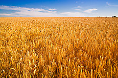 Wheat field at harvest