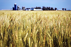 Image of a wheat field with a farm in the background.
