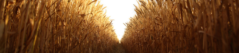 小麦田风景图1
