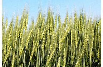 реколта пшеница
