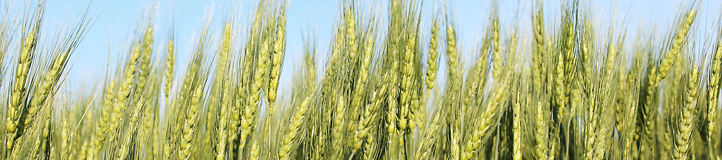 Image of a wheat field