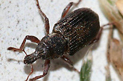 Image of an Annual Bluegrass weevil