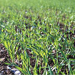 young barley