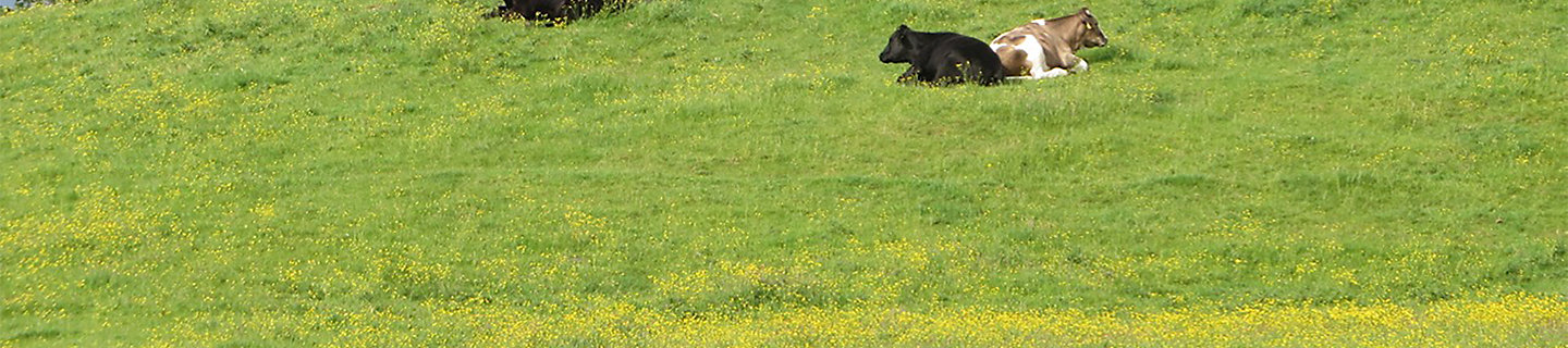 Cattle in field with buttercups