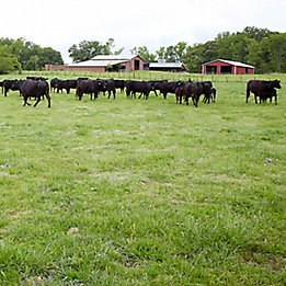 Image of cattle in pasture with barn